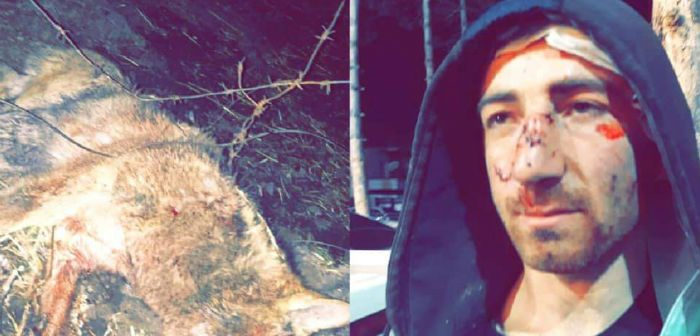 მგელი, რომელმაც წალკაში ოთხი ადამიანი დაგლიჯა, ცოფიანი აღმოჩნდა